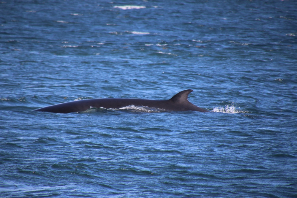 mink whale 1