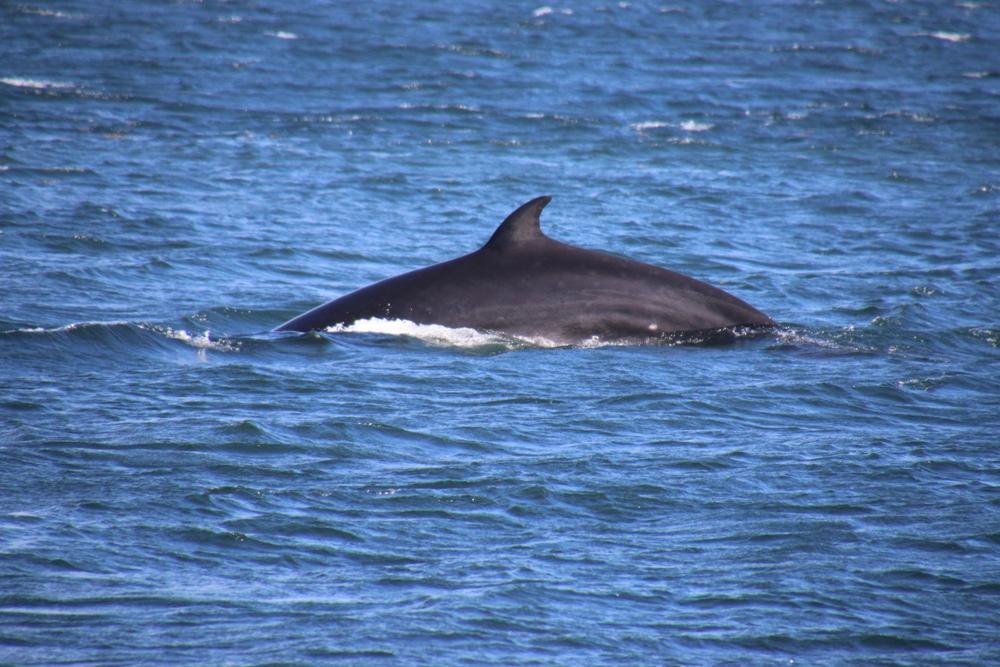 mink whale 2