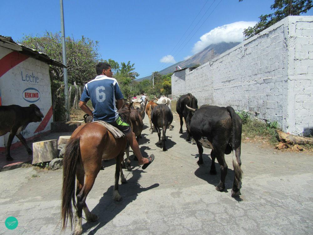 Nicaraguan Farmer with herd