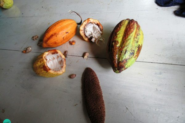 ensemble of cacao fruits