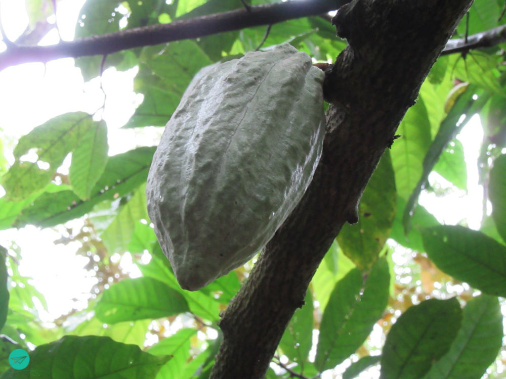 green cacao fruit