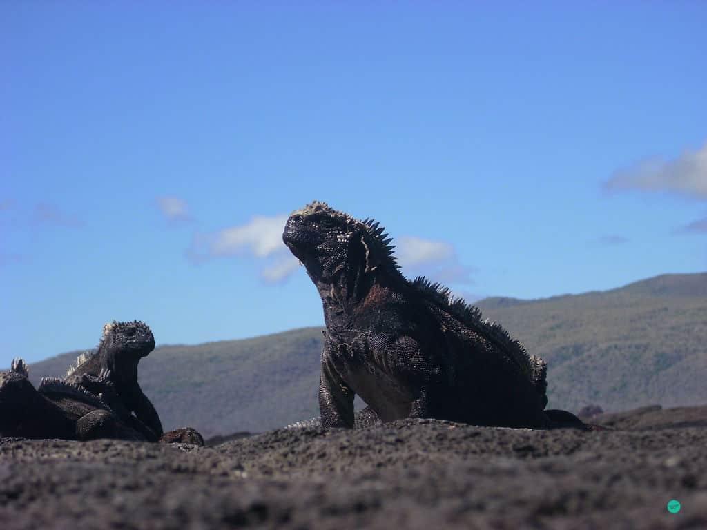 black lizard on a rock at Galapagos