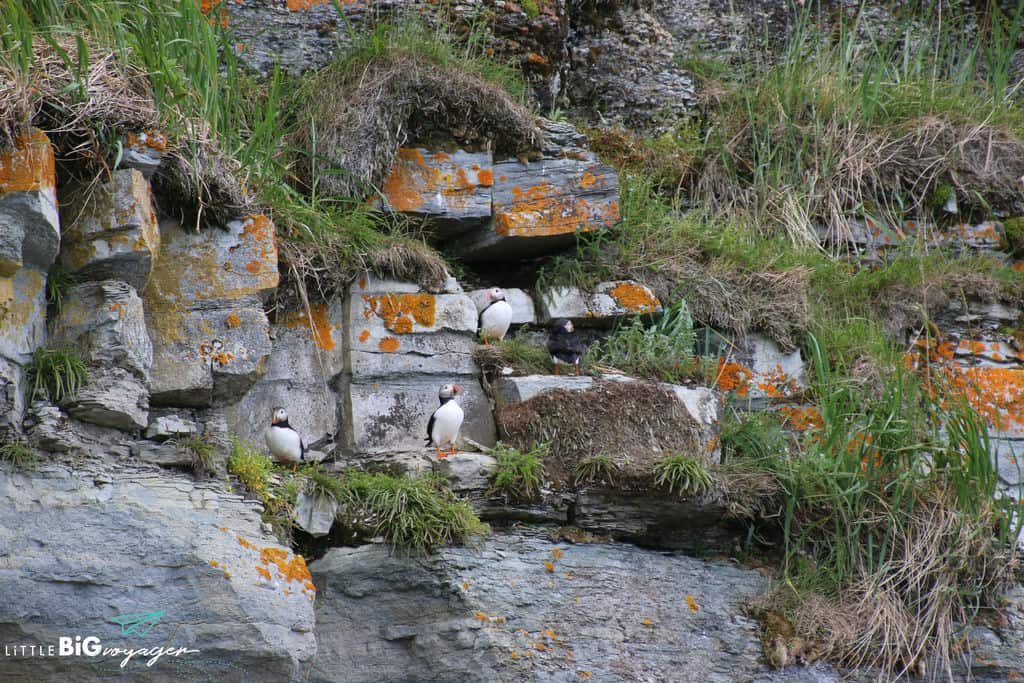 Atlantic puffins at the ile de perroquetes Mingan.