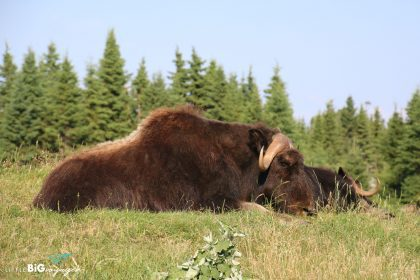This is a bison at Zoo Sauvage.