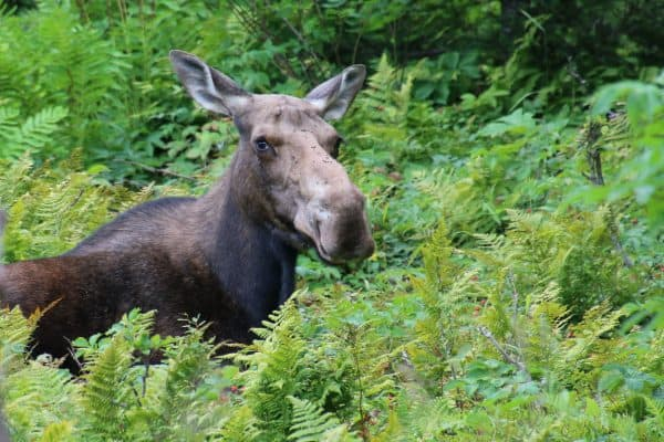 Moose in the national park of Gaspésie