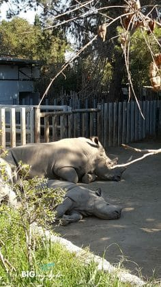 Two relaxing Rinos at Buin Zoo